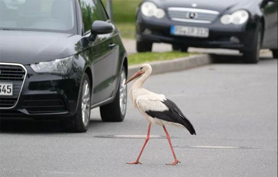 لحظات اختراق الطيور والحيوانات للطرق السريعة (9)