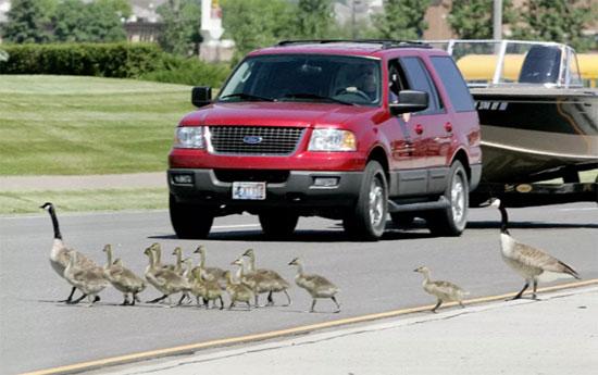 لحظات اختراق الطيور والحيوانات للطرق السريعة (1)