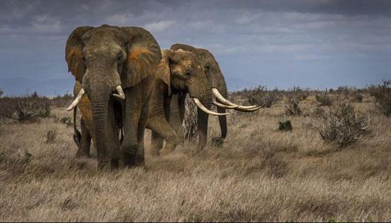 فيل ساحل العاج (1)