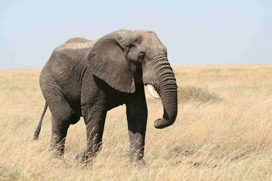 فيل ساحل العاج (6)