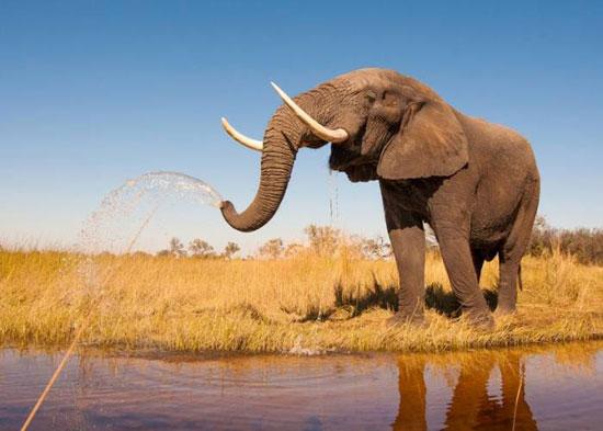 فيل ساحل العاج (7)