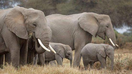 فيل ساحل العاج (4)