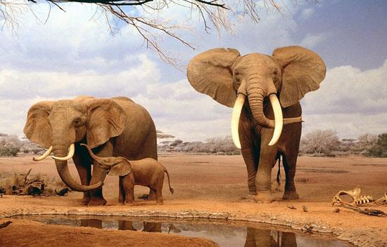 فيل ساحل العاج (8)