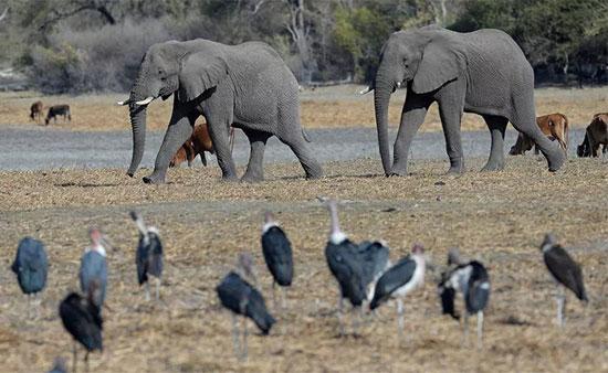 فيل ساحل العاج (3)