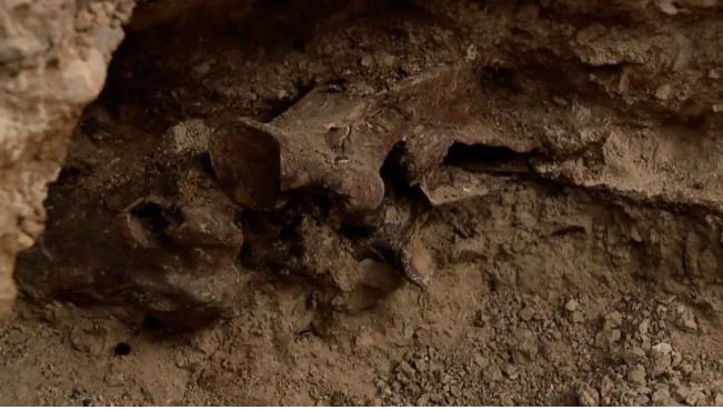 عظام متحجرة لخيل من العصر الجليدى