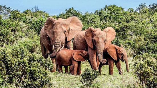 فيل ساحل العاج (5)