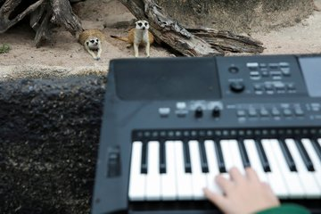 الحيوانات تتابع العزف