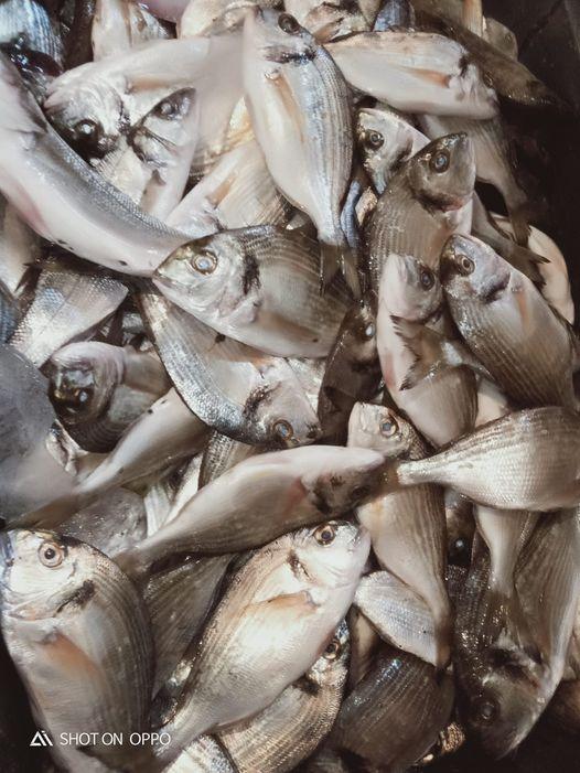 اسماك الدنيس