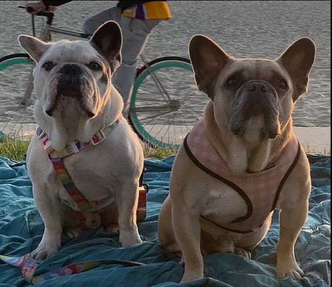 كلاب ليدي جاجا