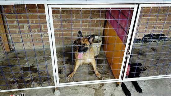 أحد الكلاب الشرسة المدربة على الحراسة