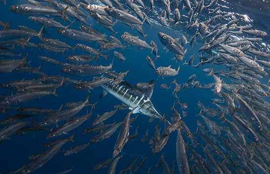 أسماك السردين يطاردهم مارلين مخطط