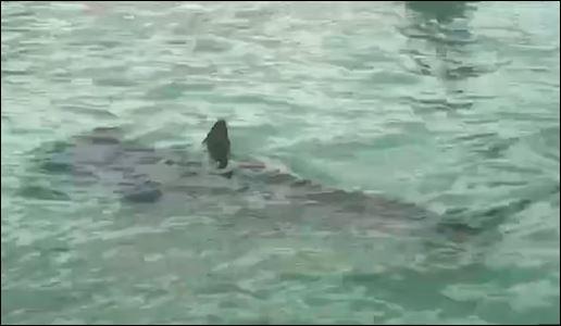 أسماك القرش (1)