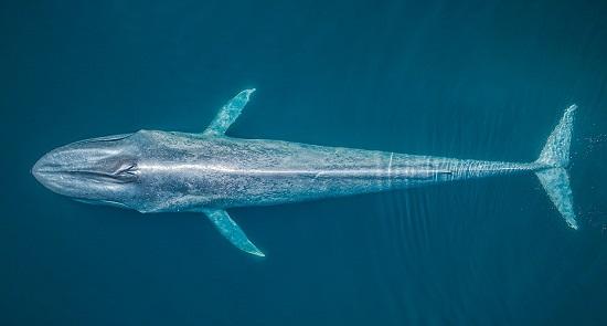 صورة جوية لحوت أزرق