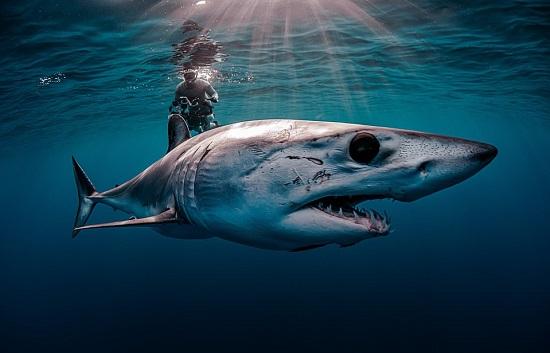 التقط المصور الأمريكي إيفانز بودين هذه اللقطة المذهلة لسمك قرش ماكو