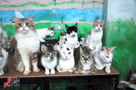 مجموعة-من-القطط-داخل-منزل-البريطانيتين-بالاقصر