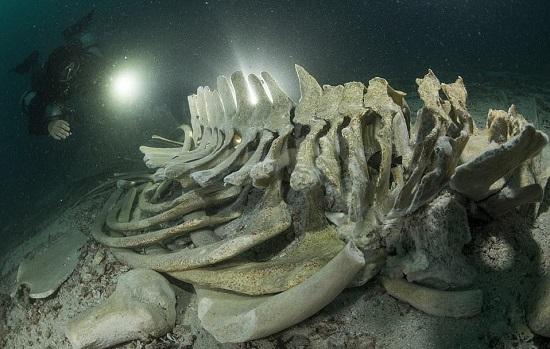 غواص يحقق في بقايا الهيكل العظمي لحوت برايد قبالة جزيرة كوه ها