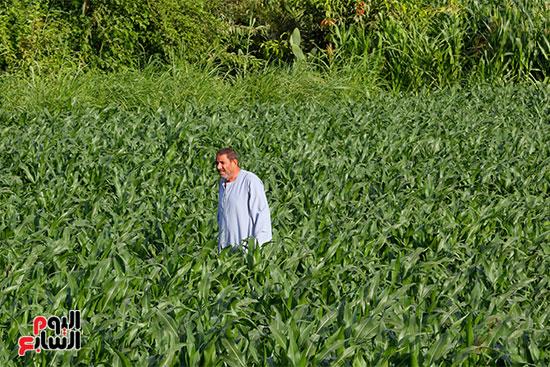 السير داخل الارض الزراعيه وسط المحصول