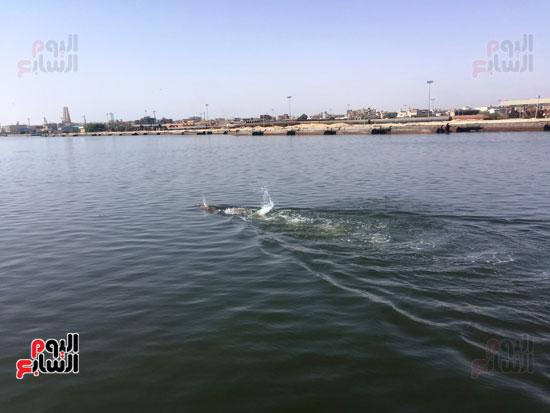 السباح-العالمى-سيد-الباروكى-يعبر-قناة-السويس--(2)