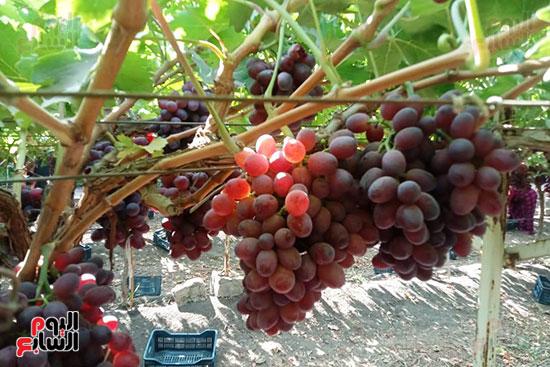 صباح حصاد العنب