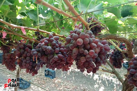 العنب يتلألأ قبل الحصاد 2