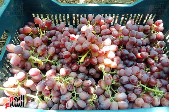 العنب بعد حصاده بالصناديق