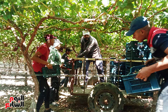 نقل العنب من المزرعة