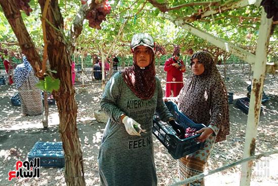 حصاد عناقيد العنب المحددة