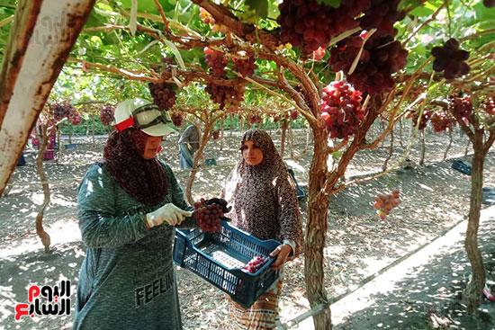 حصاد العنب بالقليوبية