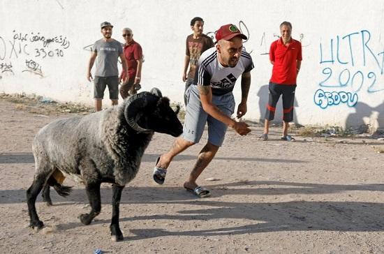 قتال الكبش محظور في تونس