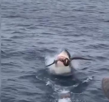 لحظة التهام سمكة القرش الطائر