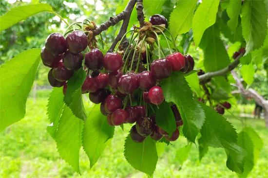 موسم حصاد الكرز (2)