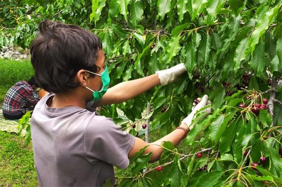 موسم حصاد الكرز (3)