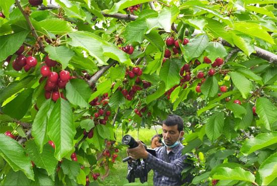 موسم حصاد الكرز (4)
