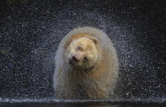 هذه اللقطة المذهلة تحمل عنوان بوص وهو اسم الدب في الصورة