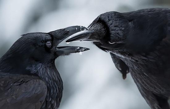 الغربان المشتركة عادة ما تتزاوج مدى الحياة