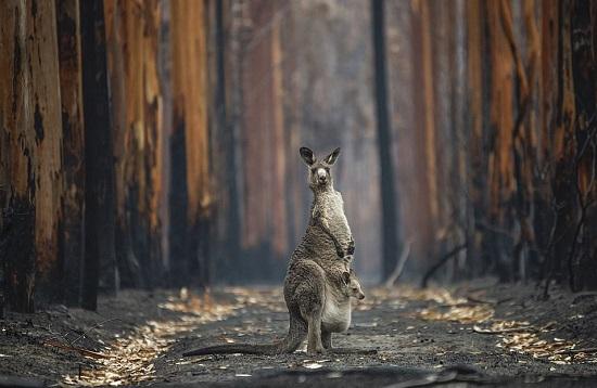 اثنان من أكثر الأنواع شهرة في أستراليا - الكنجر وشجرة الأوكالبتوس