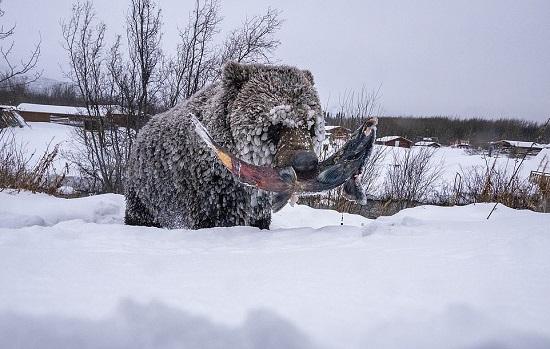 تؤخر الدببة الرمادية سباتها لصيد آخر أنواع سمك السلمون