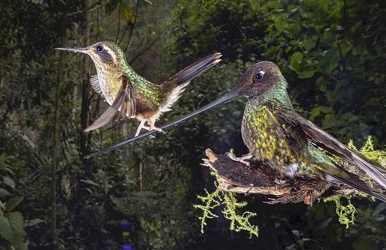 طائر طنان يستريح على منقار طائر طنان ذو منقار سيف