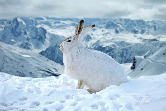 الأرنب-الجبلي