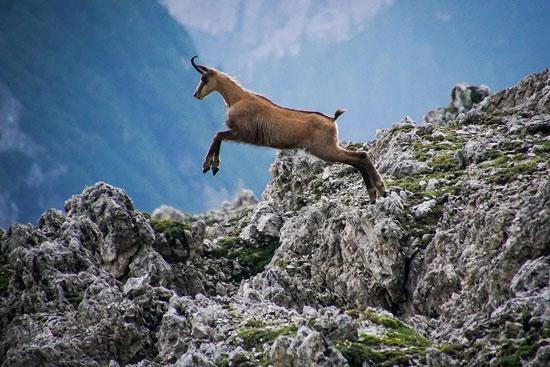 حيوانات-جبال-الألب