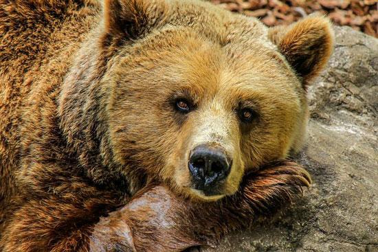 الدب-البني