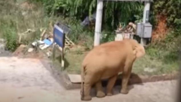 الفيلة تسير فى الشوارع