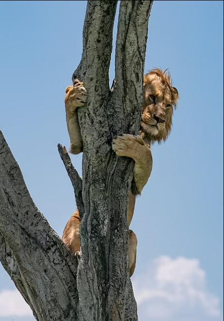 أسد جبان يحاول الاختفاء على شجرة