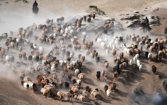 هجرة الحيوان فى الصين (4)