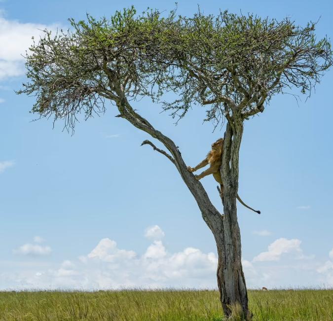الاسد بعد ساعه من تسلقة الشجرة فى انتظار ذهاب الجاموس