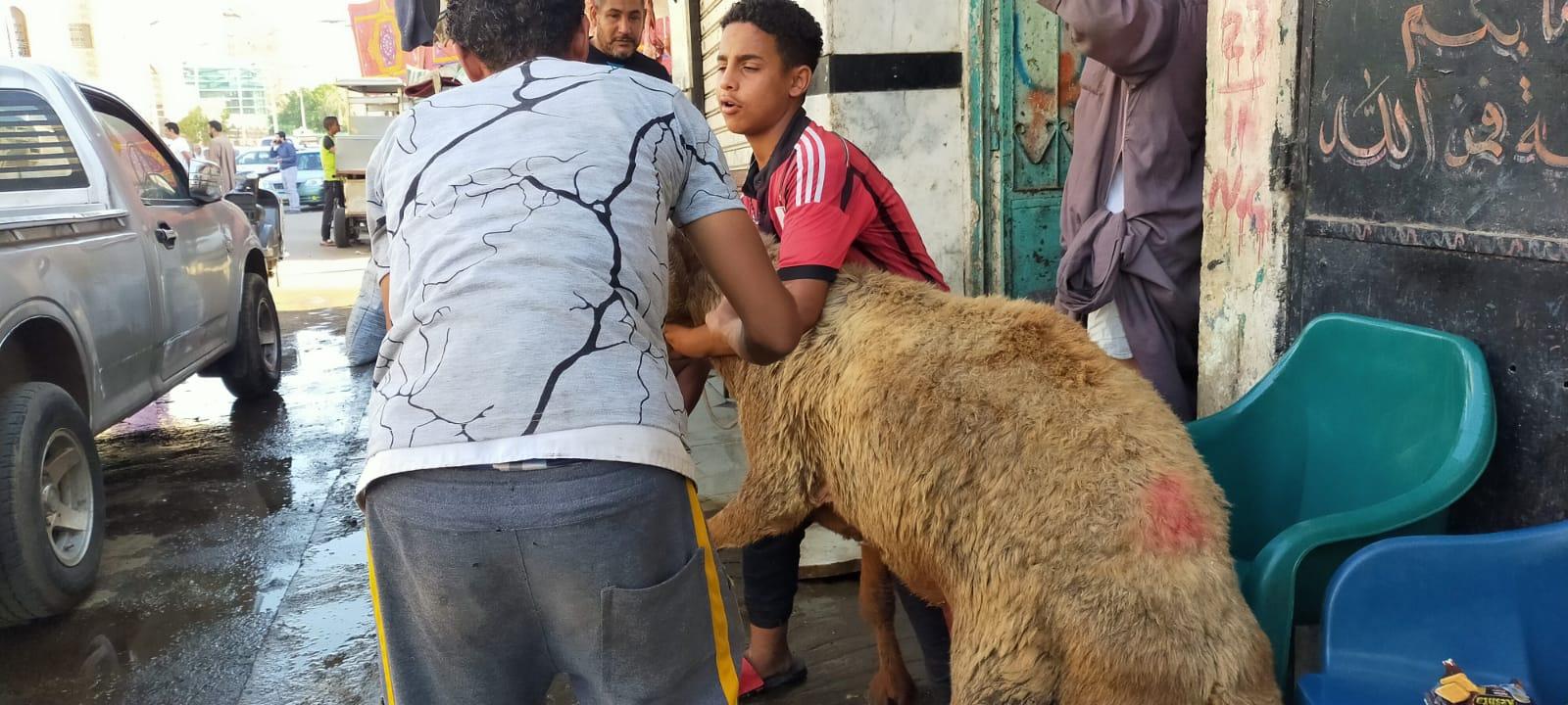 أضخم خروف بمذبح السيدة (16)