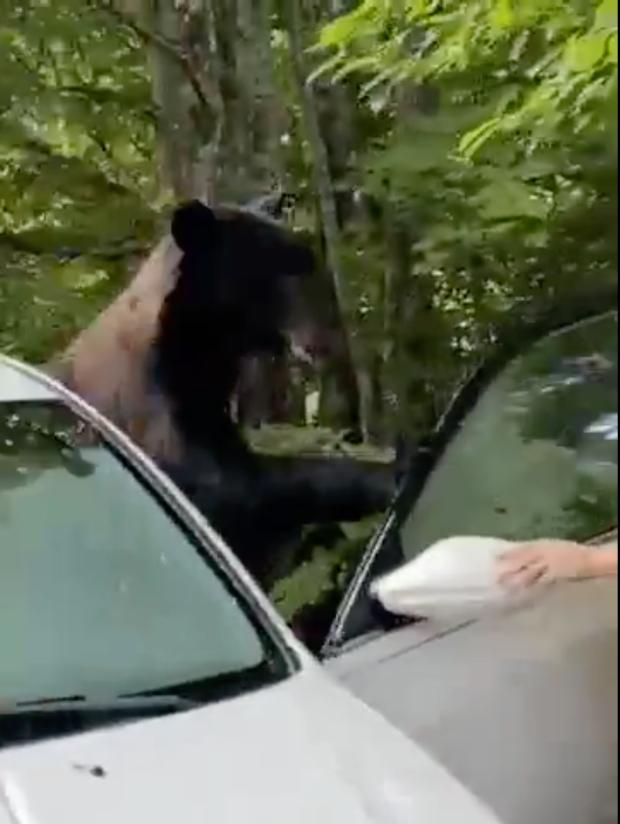 الدب يقتحم السيارة