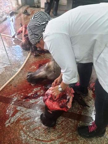 طبيبات الإسماعيلية البيطريات يتصدرن مشهد الإشراف على ذبح الأضاحي (7)