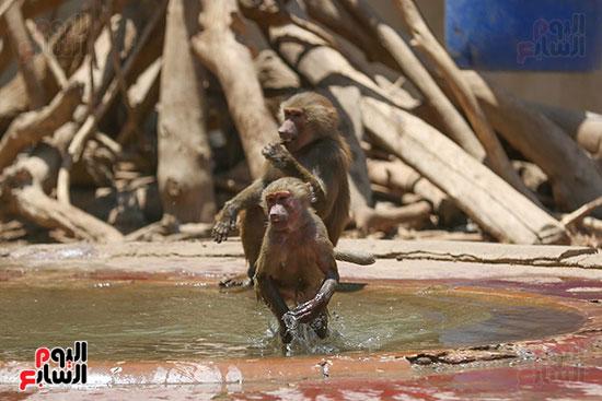 القرود يهربون من حراره الجو