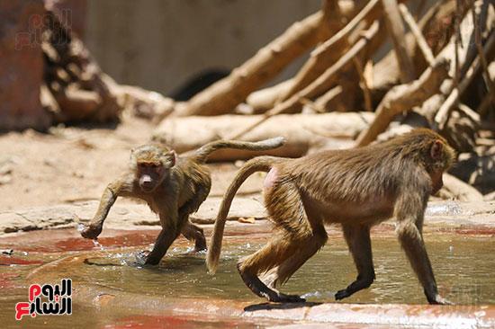 جبلايه القرود داخل حديقه الحيوان